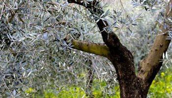 leña-de-olivo